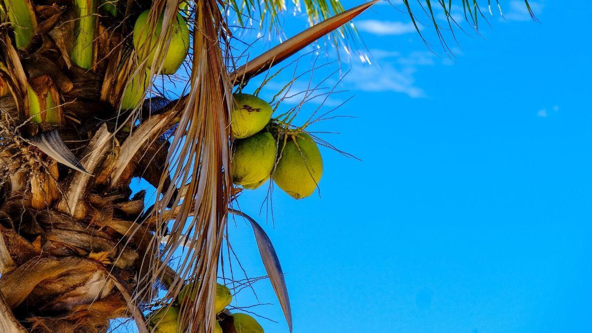 Benefits of Green Coconut Water   Zealthy